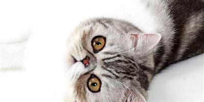 異國短毛貓好養嗎?異短如何養