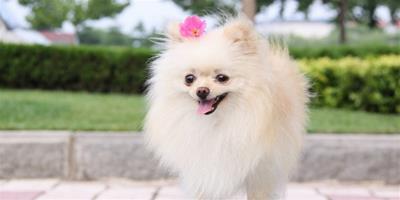 博美犬的養護知識有哪些?