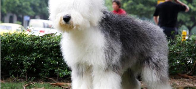 蘇格蘭牧羊犬怎麼美容