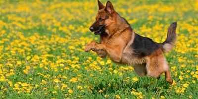 超級有正義感的德國牧羊犬