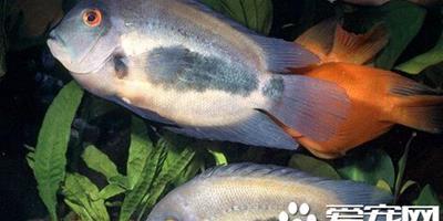 濺水魚的飼養環境 帶你瞭解其飼養環境