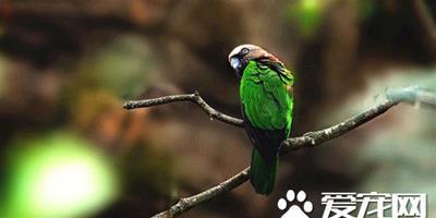 鷹頭鸚哥的飼養 鷹頭鸚哥適應環境速度比較慢