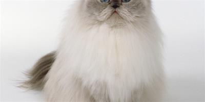 輕鬆訓練寵波斯貓在貓砂裡大小便