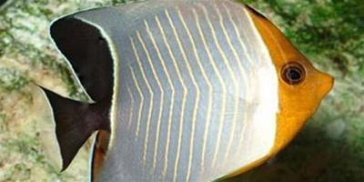 中白蝴蝶魚飼養環境 維護pH值的穩定