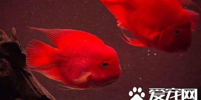 鸚鵡魚如何起頭 環境刺激也是鸚鵡魚起頭關鍵