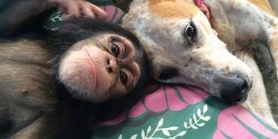 曾被棄養的暖心狗狗,成為猩猩孤兒的貼心保姆!