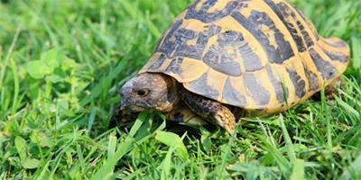 巴西龜繁殖技巧 飼養巴西龜水質很重要