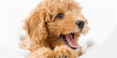 泰迪犬的訓練方法