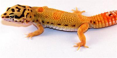 彩虹飛蜥怎麼樣 特點是帶白色的下腹部