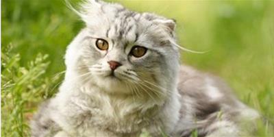 高地折耳貓品種資料