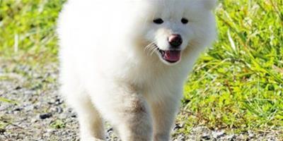 小秋田犬的健康問題檢查