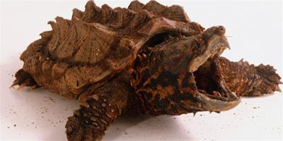 平背麝香龜的基本介紹