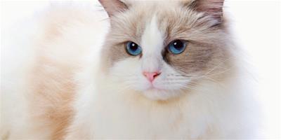 貓的耳朵上掉毛的厲害是怎麼回事
