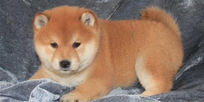 如何挑選柴犬幼犬