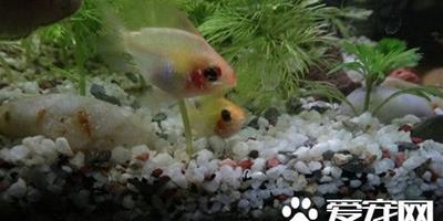 七彩鳳凰魚的繁殖 選擇常在一起的親魚配對