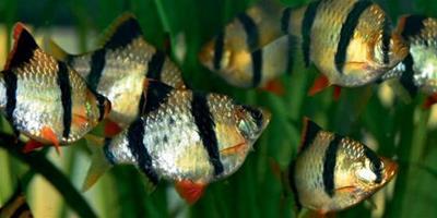虎皮魚怎樣養 虎皮魚的飼養方法詳解