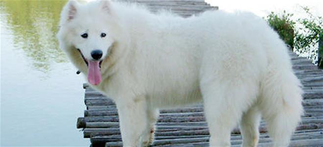 懷孕期的薩摩耶母犬應該如何護理