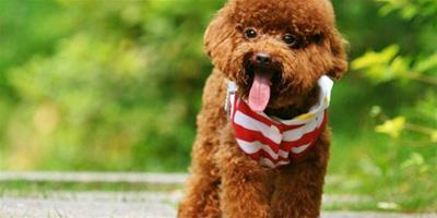 泰迪犬總是吐舌頭是不是生病了
