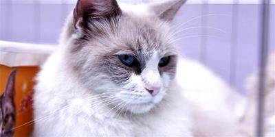 伯曼貓和布偶貓的區別