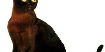 緬甸貓好養嗎?緬甸貓習性和飼養特點