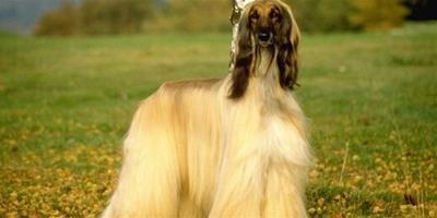 阿富汗犬狗狗不小心被燙傷了怎麼辦