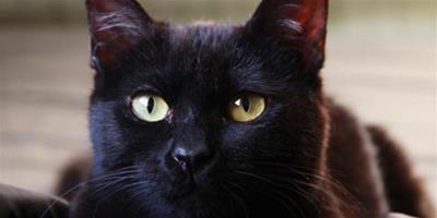 孟買貓怎麼挑選純種的