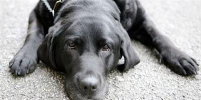 車禍時刻導盲犬奮不顧身挽救小嬰兒顯英勇