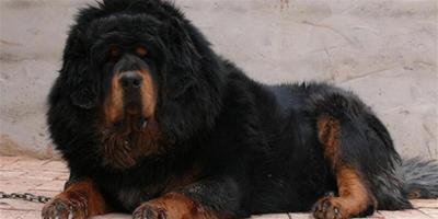 給藏獒幼犬餵食應營養均衡