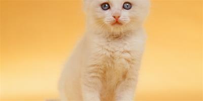 短毛貓乾洗的方法