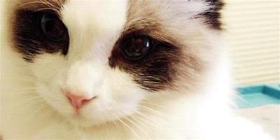 如何選購布偶貓,布偶貓購買要點