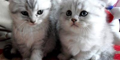 蘇格蘭折耳貓有哪些常見的遺傳病