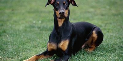 杜賓犬驅蟲藥品推薦