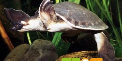 豬鼻龜品種資料簡介