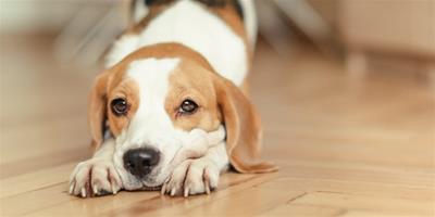 狗狗抑鬱該怎麼辦