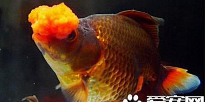 四絨球飼養環境 飼養和金魚十分的相似