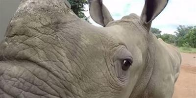 """南非創立世界第一所""""犀牛孤兒院"""""""