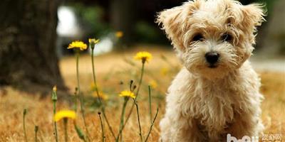 金毛的常見病:犬瘟