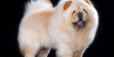 護理寵物松獅毛髮的方法