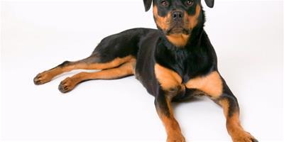 羅威納犬的個性及飼養須知