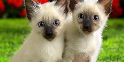 懷孕的暹羅貓照顧方法