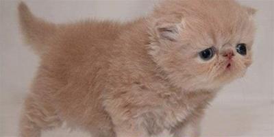 蘇格蘭折耳貓皮膚病的預防和治療