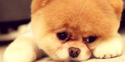 博美犬的美容方法大公開 培養健康博美