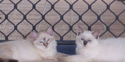 產後的布偶貓該怎麼護理