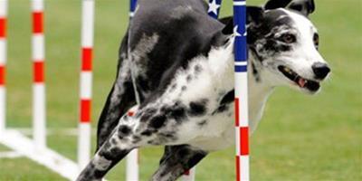 狗狗體育賽場晉級,成運動健將