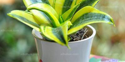 室內淨化空氣盆栽~花卉淨化空氣