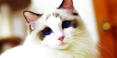 如何鑒別布偶貓,布偶貓和其他貓種的區別