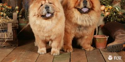 松獅犬也愛美