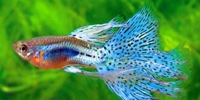 【參考】孔雀魚喂什麼好?