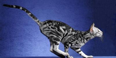 古老埃及貓挑選小貼士