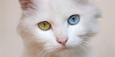 貓咪怕熱嗎?貓咪怕熱怎麼辦?